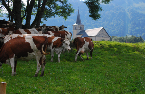 vaches-500px